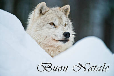 Photograph - Arctic Wolf Christmas Card Italian 14 by Wolves Only