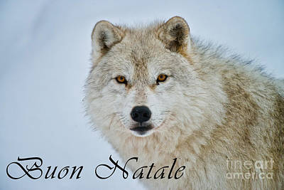 Photograph - Arctic Wolf Christmas Card Italian 15 by Wolves Only