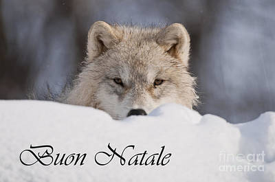 Photograph - Arctic Wolf Christmas Card Italian 7 by Wolves Only