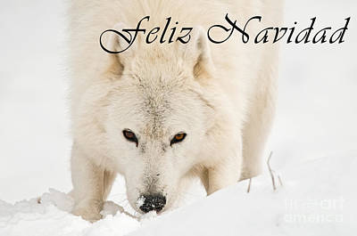 Photograph - Arctic Wolf Christmas Card Spanish 10 by Wolves Only