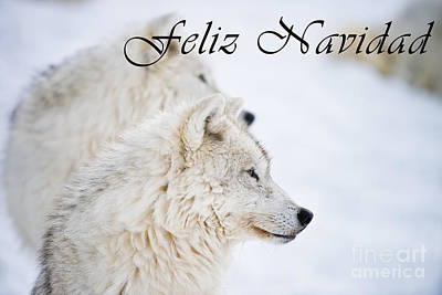 Photograph - Arctic Wolf Christmas Card Spanish 12 by Wolves Only