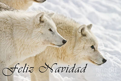 Photograph - Arctic Wolf Christmas Card Spanish 13 by Wolves Only