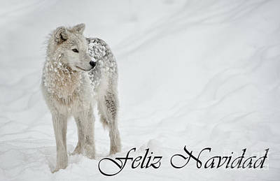 Photograph - Arctic Wolf Christmas Card Spanish 8 by Wolves Only