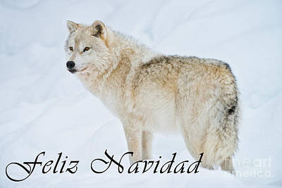 Photograph - Arctic Wolf Christmas Card Spanish 9 by Wolves Only