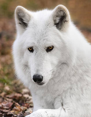Photograph - Arctic Wolf by Eduard Moldoveanu