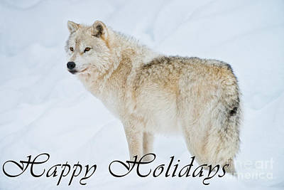 Photograph - Arctic Wolf Happy Holidays 9 by Wolves Only
