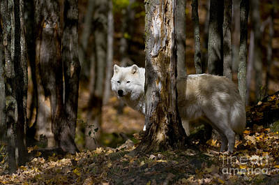 Print featuring the photograph Arctic Wolf In Forest by Wolves Only