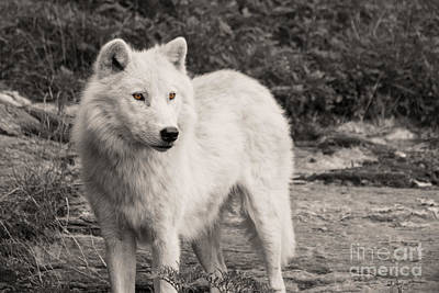 Black. Arctic Wolf Photograph - Arctic Wolf In Sepia by Deanna Wright