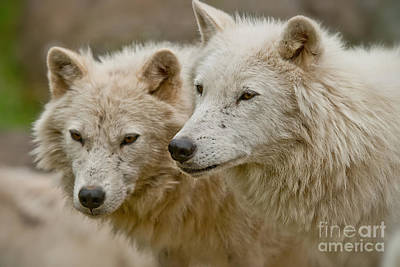 Animal Watercolors Juan Bosco - Arctic Wolf Pictures 1174 by World Wildlife Photography