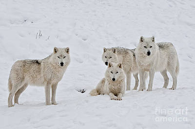 Photograph - Arctic Wolf Pictures 120 by Wolves Only