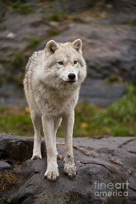Photograph - Arctic Wolf Pictures 138 by Wolves Only