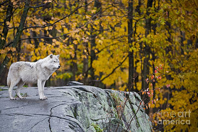 Photograph - Arctic Wolf Pictures 140 by Wolves Only