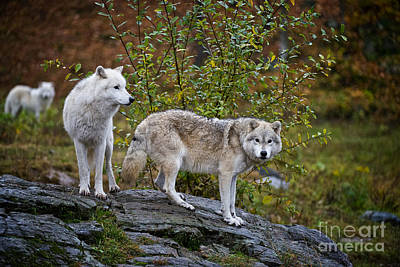 Photograph - Arctic Wolf Pictures 142 by Wolves Only