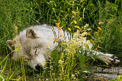 Animals Royalty-Free and Rights-Managed Images - Arctic Wolf Pictures 151 by Wolves Only