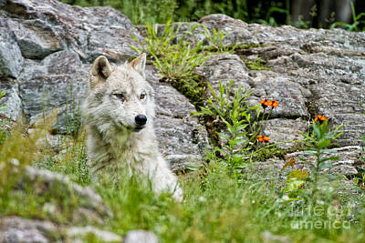 Photograph - Arctic Wolf Pictures 152 by Wolves Only