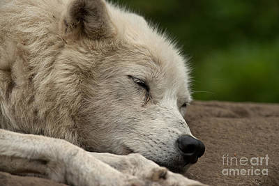 Arctic Wolf Pictures 155 Print by Wolves Only