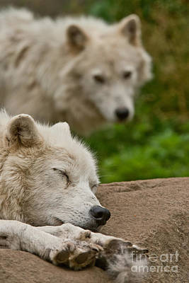 Photograph - Arctic Wolf Pictures 156 by Wolves Only
