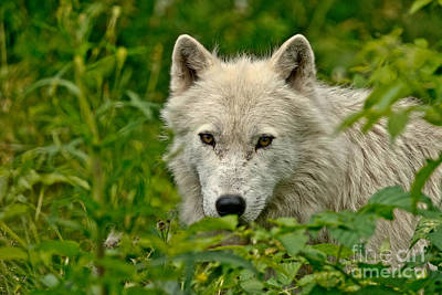 Photograph - Arctic Wolf Pictures 158 by Wolves Only