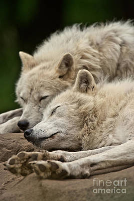 Photograph - Arctic Wolf Pictures 160 by Wolves Only