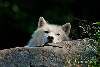 Photograph - Arctic Wolf Pictures 163 by Wolves Only