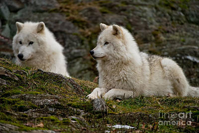 Photograph - Arctic Wolf Pictures 165 by Wolves Only