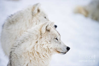 Photograph - Arctic Wolf Pictures 235 by Wolves Only