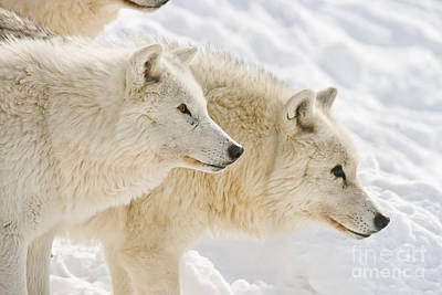 Photograph - Arctic Wolf Pictures 236 by Wolves Only