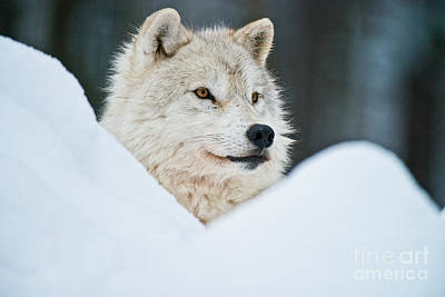 Photograph - Arctic Wolf Pictures 238 by Wolves Only