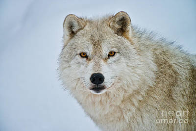 Photograph - Arctic Wolf Pictures 239 by Wolves Only