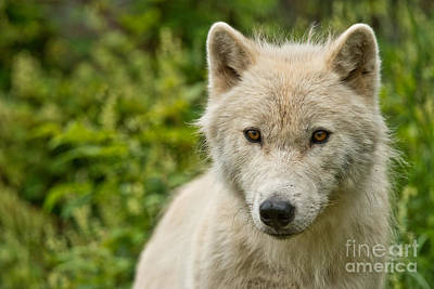 Photograph - Arctic Wolf Pictures 242 by Wolves Only