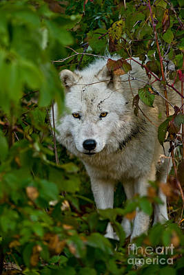 Photograph - Arctic Wolf Pictures 248 by Wolves Only