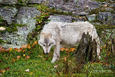 Photograph - Arctic Wolf Pictures 337 by Wolves Only