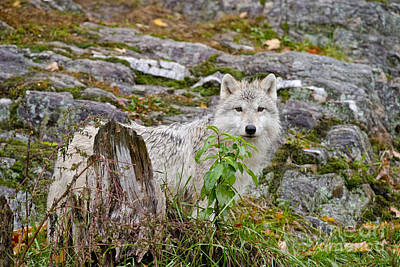 Photograph - Arctic Wolf Pictures 338 by Wolves Only