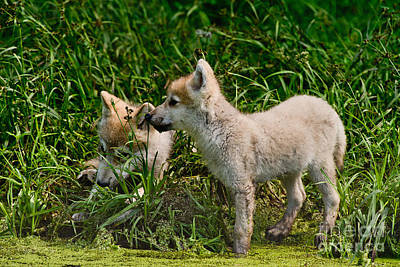 Photograph - Arctic Wolf Pictures 347 by Wolves Only