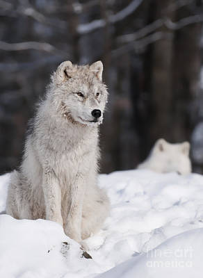 Photograph - Arctic Wolf Pictures by Wolves Only