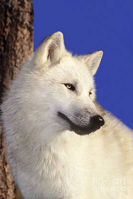 Photograph - Arctic Wolf Portrait Wildlife Rescue by Dave Welling