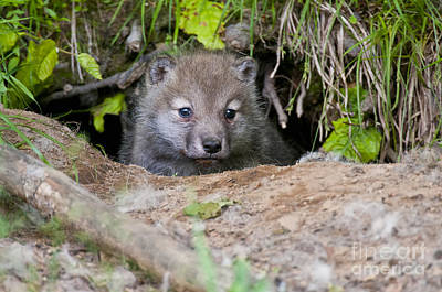 Arctic Wolf Pup Pictures  Print by Wolves Only
