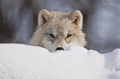 Photograph - Arctic Wolf Pup Portrait by Wolves Only