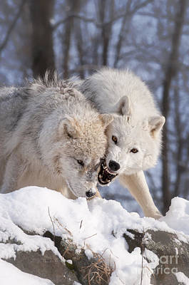 Photograph - Arctic Wolf Pup With Adult by Wolves Only