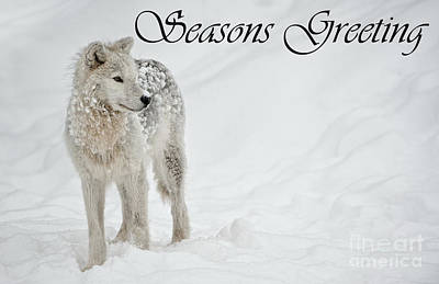 Photograph - Arctic Wolf Season Card 8 by Wolves Only