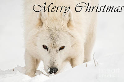 Photograph - Arctic Wolf Season Christmas Card 10 by Wolves Only
