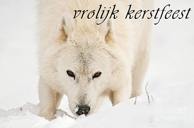 Photograph - Arctic Wolf Season Christmas Card Dutch 10 by Wolves Only
