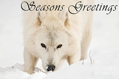 Photograph - Arctic Wolf Seasons Greeting Card 10 by Wolves Only