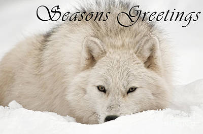 Photograph - Arctic Wolf Seasons Greetings Card 11 by Wolves Only