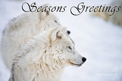 Photograph - Arctic Wolf Seasons Greetings Card 12 by Wolves Only