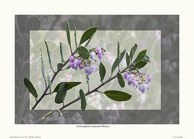 Arctostaphylos Manzanita 'monica' Art Print