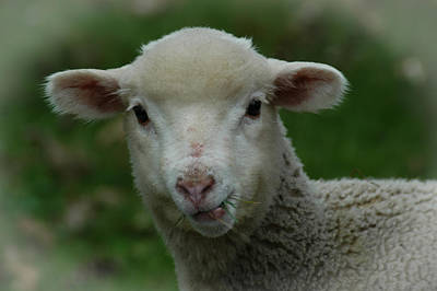 Photograph - Are Ewe... by Mike Martin