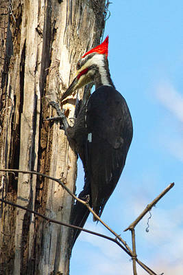Pileated Woodpecker Photograph - Are Those Ants I See In There by Phil Stone