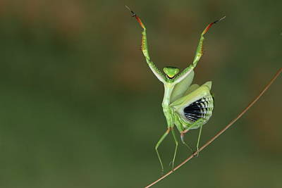 Mantis Photograph - Are You Gonna Dance With Me ? by Hasan Baglar