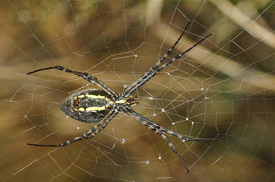 Photograph - Argiope Aurantia  by Gregory Scott